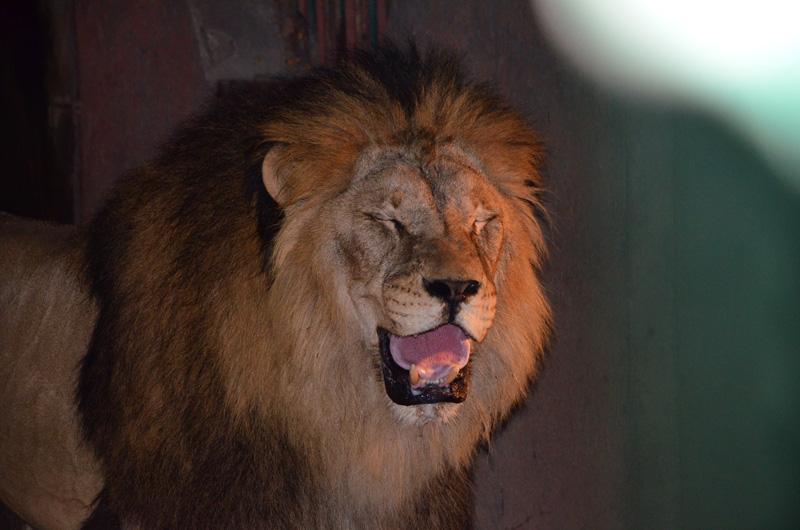 Лев Одесского зоопарка