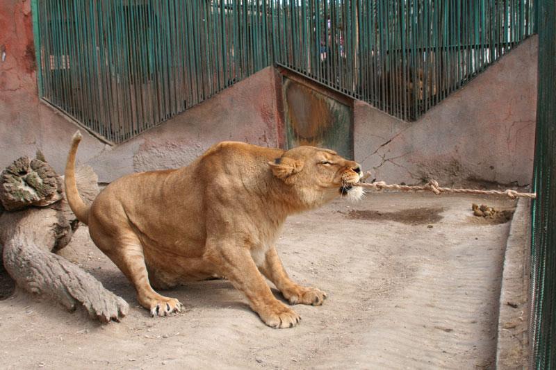 Львица перетягивает канат с посетителями зоопарка