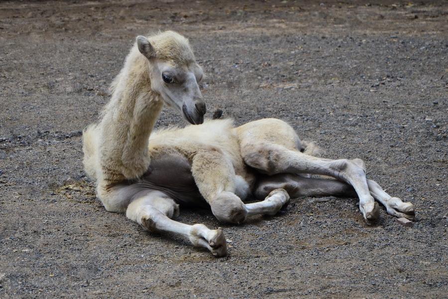 Верблюженок