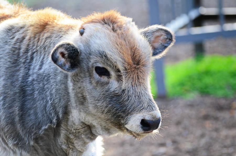 Серый украинский скот